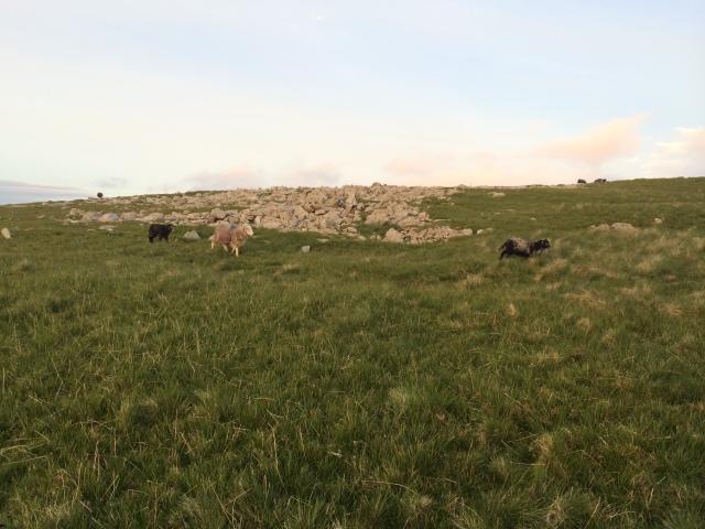 Herdwick sheep near our camp