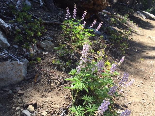 Wild lupins were in abundance